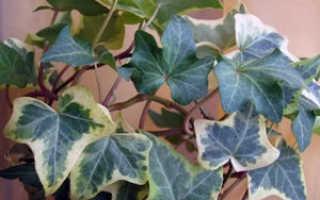 Какие лианы выращивают в домашних условиях?