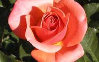 Самые лучшие сорта роз