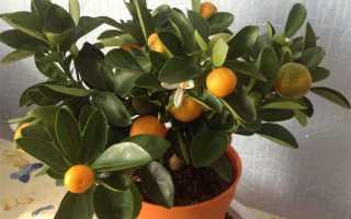 Выращиваем мандарин из косточки в домашних