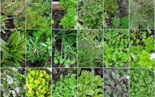 Какие пряности можно выращивать на огороде список?