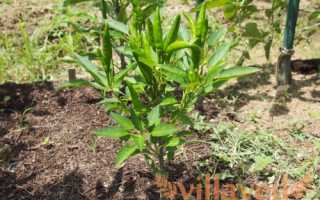 Можно ли выращивать рассаду перца в торфяных таблетках?