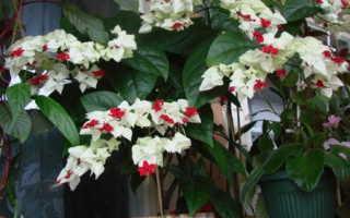 Как выращивать клеродендрум в домашних условиях?