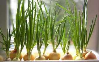 Как выращивать лук в домашних условиях зимой на подоконнике?