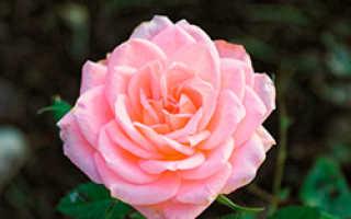 Лучшие сорта розовых роз