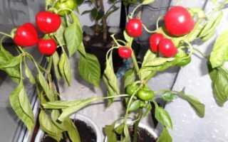 Можно ли выращивать болгарский перец круглый год?