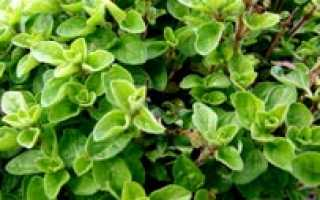 Как выращивать майоран в домашних условиях?