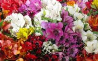 Как выращивать альстромерию в домашних условиях?