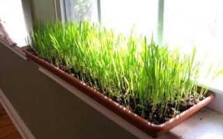 Как правильно выращивать зелень на подоконнике зимой?