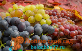 Лучший сорт винограда для подмосковья