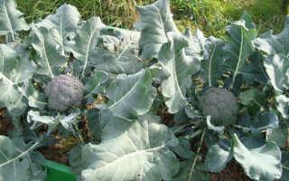 Как выращивать брокколи в открытом грунте на урале?