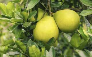 Можно ли выращивать помело в домашних условиях?