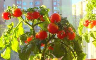 Лучшие сорта комнатных помидор