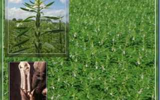 Как выращивать кунжут в домашних условиях?