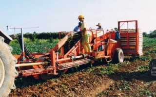 Как выращивать топинамбур в промышленных масштабах?