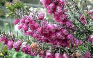 Можно ли выращивать вереск садовый дома в горшке?