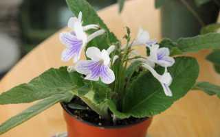 Как выращивать стрептокарпус в домашних условиях?