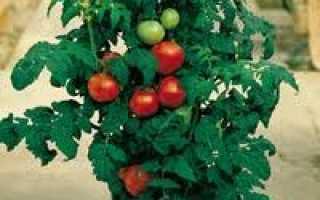 Как выращивать помидоры в домашних?