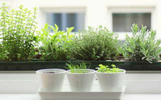 Как выращивать зелень в домашних условиях зимой на подоконнике?