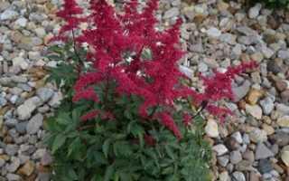 Можно ли астильбу выращивать как комнатное растение?