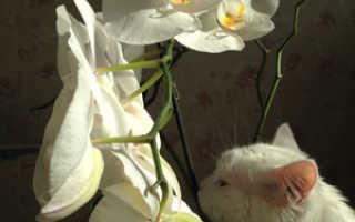 На каком окне лучше выращивать орхидеи фаленопсис