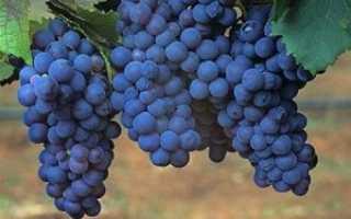 Лучшие темные сорта винограда
