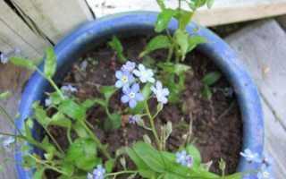 Незабудки как выращивать в домашних условиях