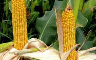 Какие сорта кукурузы выращивают в краснодарском крае?
