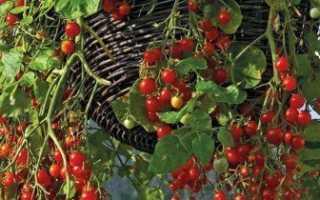Можно ли выращивать помидоры зимой на подоконнике?