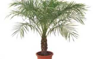 Как выращивать финиковую пальму в домашних условиях?