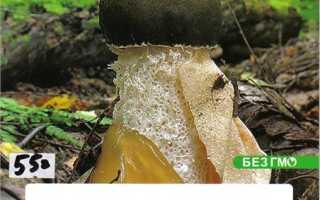 Как выращивать гриб веселка в домашних условиях?