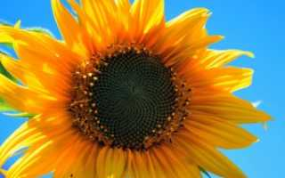 Как выращивать подсолнух в домашних условиях?
