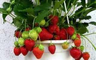 Как выращивать ремонтантную клубнику в горшках дома?