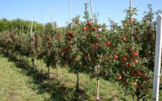 Лучшие сорта яблонь низкорослых