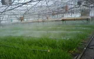 Как правильно выращивать лук на зелень в теплице?