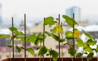 Какой сорт огурцов можно выращивать на подоконнике?