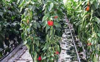 Как правильно выращивать болгарский перец в теплице?