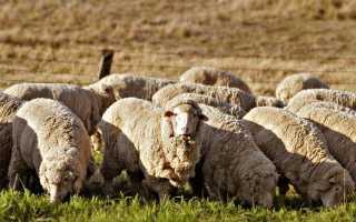 Как выращивать овец в домашних условиях?
