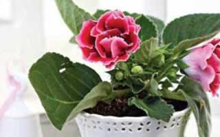 Как выращивать глоксинии из семян в домашних условиях?