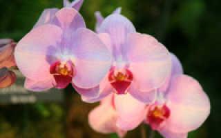Как выращивать орхидею фаленопсис в домашних условиях?