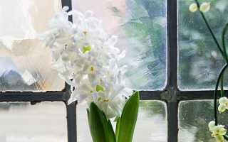 Как выращивать гиацинты в домашних условиях на окне?