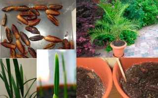 Как выращивать финиковую пальму из косточки в домашних условиях?