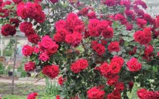Как выращивать кустовую розу в домашних условиях?