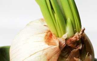 Как выращивать лук на воде в домашних условиях?