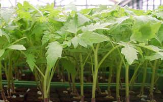 При какой температуре выращивать рассаду помидоров