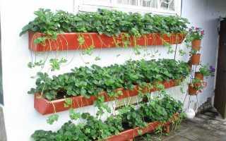 Как выращивать клубнику в домашних условиях на огороде?