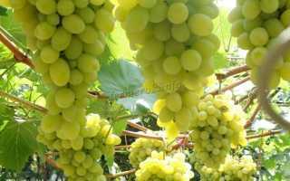 Лучшие сорта зеленого винограда