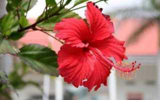 Как выращивать китайскую розу в домашних условиях семенами?