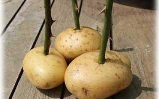Выращиваем розы в картошке из подаренного букета