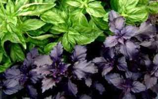 Как выращивать базилик в домашних условиях из семян?