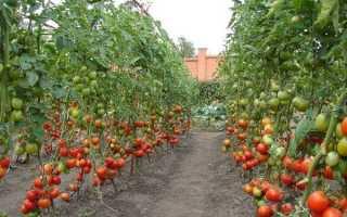 Как выращивать томаты высокорослые в открытом грунте?